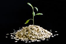 Free Plant Growing From Oatmeal Royalty Free Stock Photography - 18334617