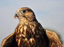Free Common Buzzard With Spread Wings And A Small Prey Stock Photo - 18334840