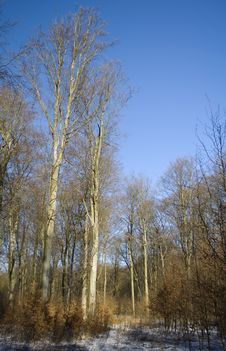 Free Winter Beech Forest Royalty Free Stock Photo - 18335055