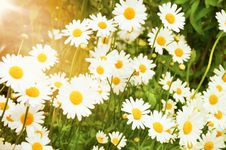 Free Camomile Field Royalty Free Stock Photography - 18335147