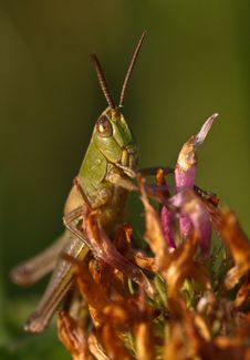 Free Grasshopper Royalty Free Stock Photos - 18335568