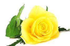 Free Yellow Rose Royalty Free Stock Photos - 18337708
