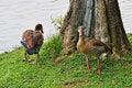 Free Wild Ducks Royalty Free Stock Photos - 18349418