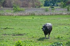 Free Adult Buffalo Royalty Free Stock Photos - 18341118