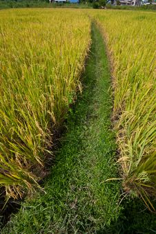 Free Rice Field Royalty Free Stock Photography - 18341327