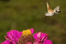 Free Hummingbird Hawkmoth  In Flight Royalty Free Stock Images - 18346449