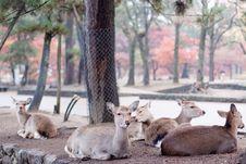 Free Lying Deers Royalty Free Stock Photo - 18346545