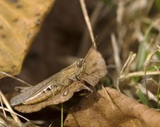 Free Lesser Marsh Grasshopper Stock Photo - 18346600