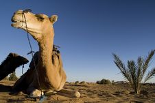 Free Camel In The Desert Stock Photos - 18346733