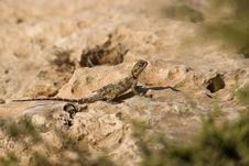 Free Lizard On The Look Out Royalty Free Stock Photos - 18346748
