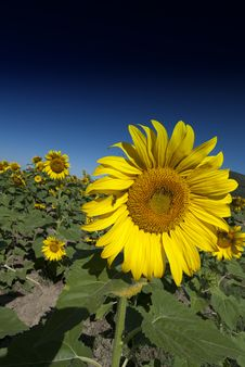 Free Sunflowers Meadow In Tuscany Stock Photography - 18347312