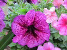 Free Vivid Purple Flower Royalty Free Stock Photos - 18348668