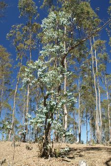 Eucalyptus Trees Royalty Free Stock Photos