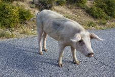 Free Pig On A Street Of Corsica Stock Photo - 18349800