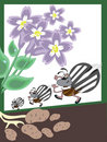 Free Colorado Beetles Stock Photo - 18350800