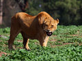 Free Angry Lioness Stock Images - 18352104