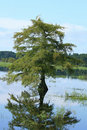 Free Cypress Tree And Reflection Stock Photos - 18353163