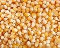 Free Corn Royalty Free Stock Photos - 18357418
