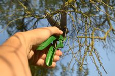 Free Pruning-shears, Curtailment Of The Branches Stock Photo - 18350630