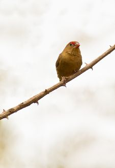 Free Close-up Of A Female Red-billed Firefinch Royalty Free Stock Photo - 18351335