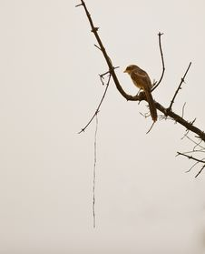 Free A Lonely Yellow-billed Shrike Stock Photography - 18351352