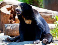 Free Black Bear Royalty Free Stock Photos - 18351448