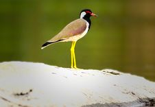 Red Wattled Lapwing Royalty Free Stock Image