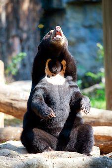 Free Black Bear Stock Photo - 18351670