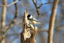 Free Black-capped Chickadee Stock Image - 18352801