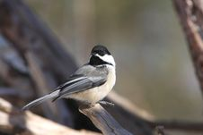 Black-capped Chickadee Royalty Free Stock Photo