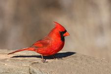 Free Cardinal Male Stock Photos - 18352983
