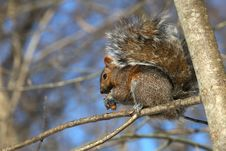 Free Gray Squirrel Royalty Free Stock Photography - 18353067