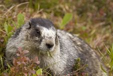 Free Hoary Marmot Lunch Royalty Free Stock Photos - 18353118