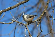 Free White-breasted Nuthatch Royalty Free Stock Images - 18353229