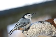 Free White-breasted Nuthatch Royalty Free Stock Photo - 18353285