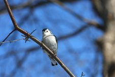 Free White-breasted Nuthatch Stock Images - 18353324