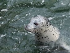 Free Harbour Seal (Phoca Vitulina) Stock Images - 18355334