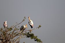 Free Painted Stork Royalty Free Stock Photos - 18358358