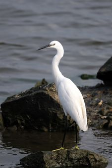 Free Egret Stock Photography - 18358402