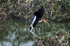 Free Painted Stork Royalty Free Stock Photo - 18358435