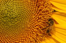 Free Bee And Sunflower Royalty Free Stock Image - 18359006