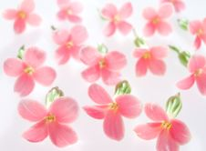Free Pink Flowers Royalty Free Stock Images - 18360059