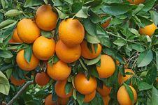 Free Oranges On Tree Stock Photos - 18360833