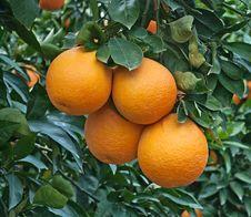 Free Oranges On Tree Royalty Free Stock Photo - 18360895