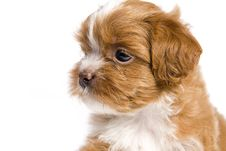 Brown Little Havanese Puppy Stock Images