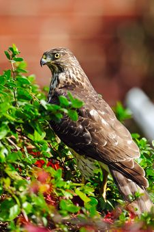 Free Cooper S Hawk Stock Photo - 18363140