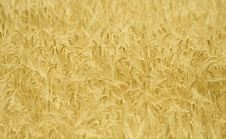 Free Wheat Royalty Free Stock Photography - 18363147