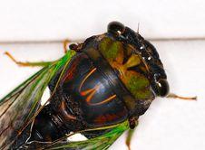 Free Cicada Stock Photo - 18363170
