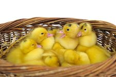Free Duckling Group Stock Photo - 18365570