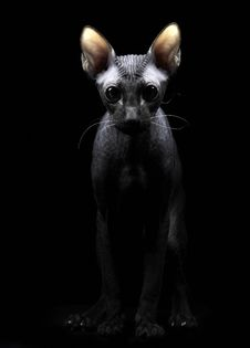 Portrait Of A Young Canadian Sphynx  On Black Back Stock Photography
